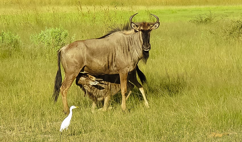 Wildebeest one of the Ugly Five