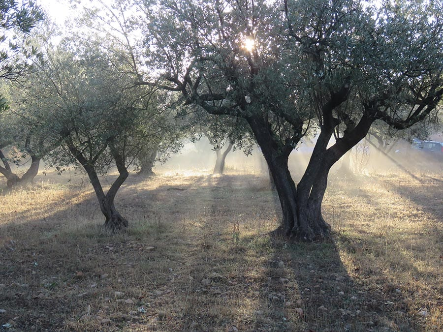 and olive grove with sun streaming through the trees