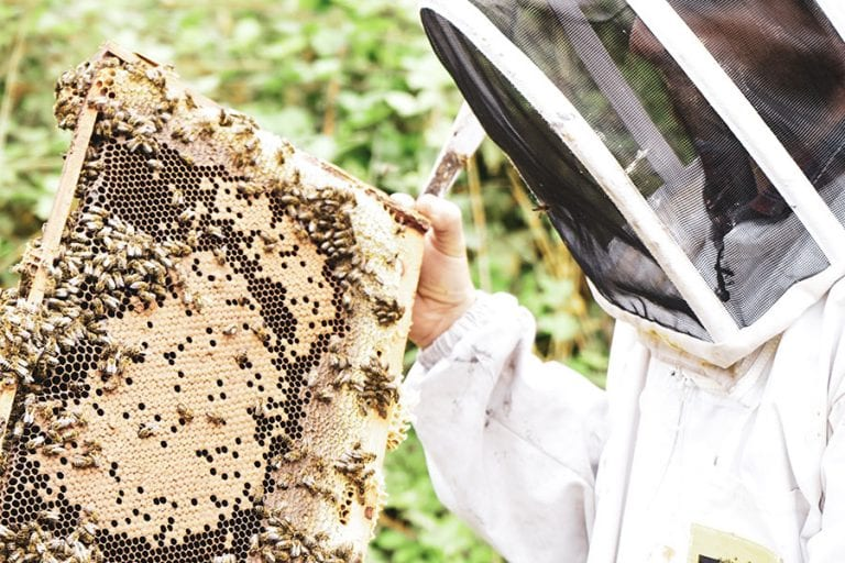 Man with full bee keeping protection outfit on holding a comb of honey with bees on it