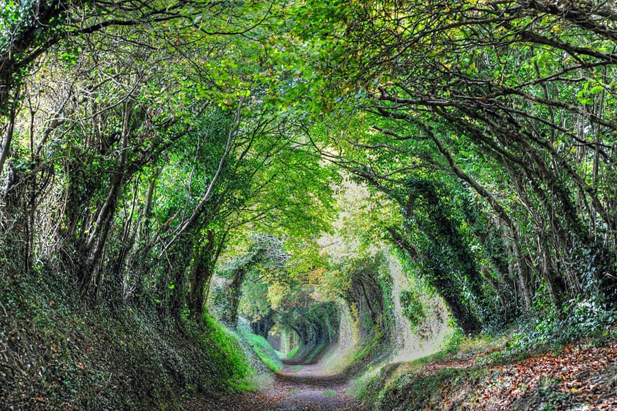 Halnaker Tree Tunnel with trees reaching over from both sides