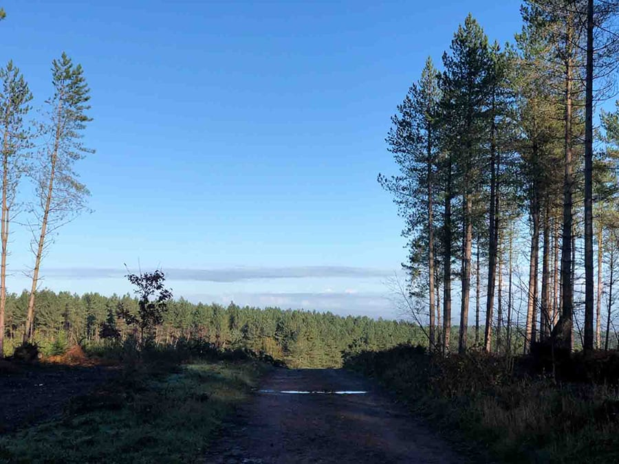 Forest of Scots pine trees and blue sky